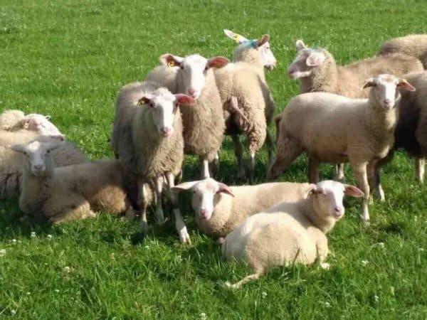 ост-фризская порода овец