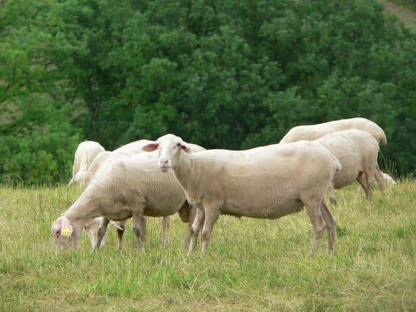порода овец Лакаюне