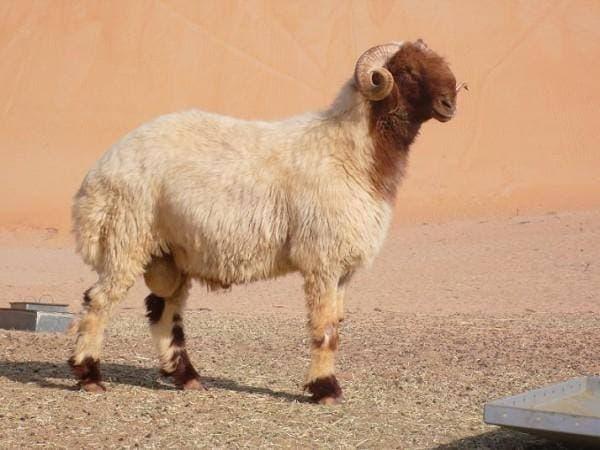 порода овец Авасси