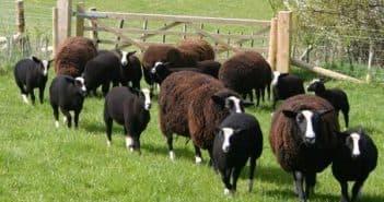 молочные породы овец в поле