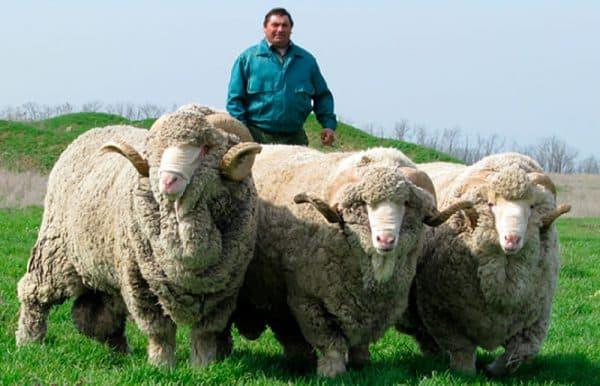 Самая лучшая мясная порода овец