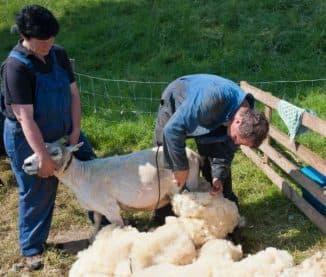 Подготовка инструментов для стрижки овцы