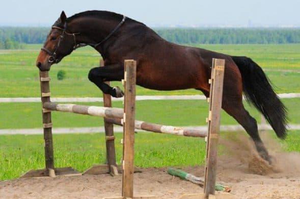 ганноверская порода лошадей