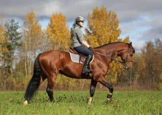 ганноверская порода лошадей в загоне