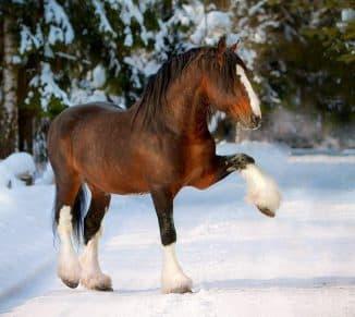 содержание владимирский тяжеловоз порода лошадей