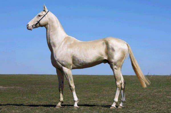 лошадь Ахалтекинская порода