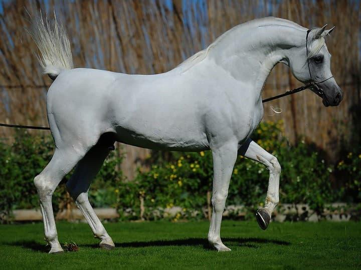 Арабская чистокровная лошадь - фото, описание породы, уход за лошадью