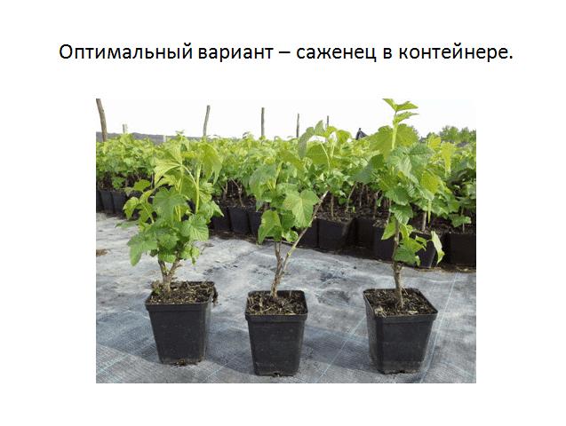 выращивание черной смородины в контейнере