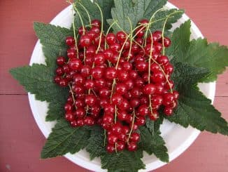 смородина красная сахарная