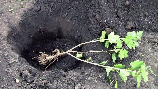 Когда можно пересаживать кусты смородины осенью