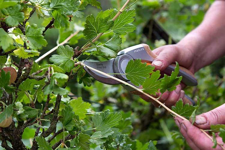 Как ухаживать за смородиной весной чтобы был хороший урожай