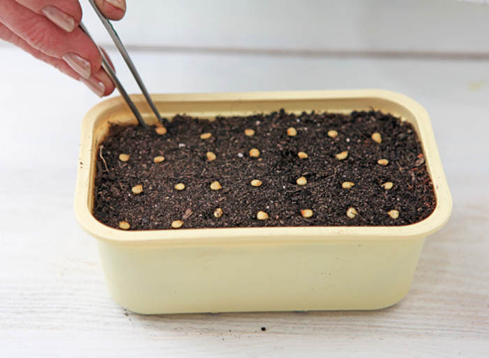 признается, как правильно посадить перец на рассаду фото большого