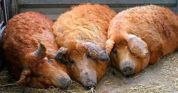 свиньи породы мангал на разведении