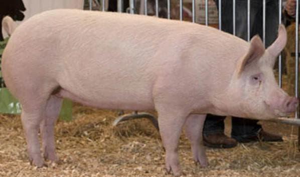 Сколько живут свиньи: продолжительность, срок