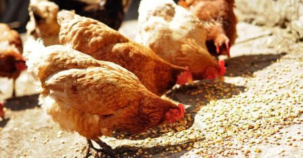 кормление кур кукурузой