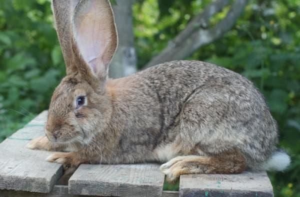 кролики и взутие живота