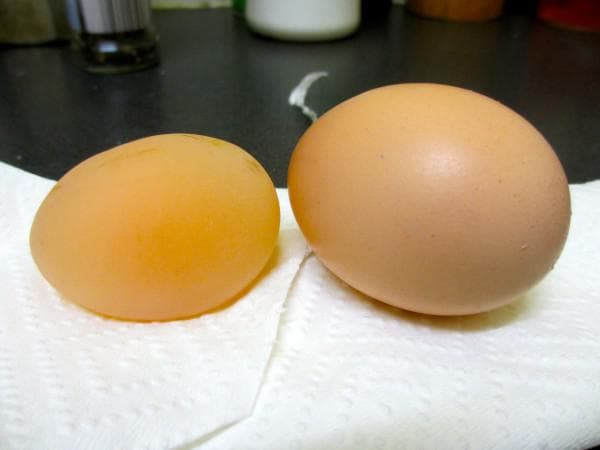 курица несет яйца без скорлупы в тонкой оболочке