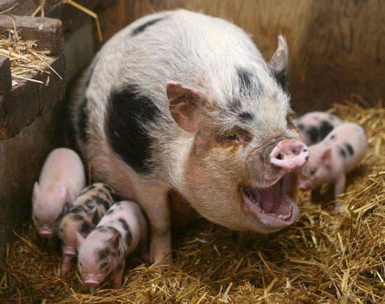свиноматка и свинята