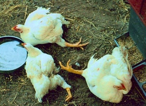 вирусные заболевания у кур