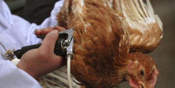 лечение кур
