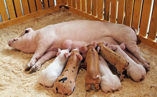 откорм маленьких свиней