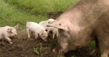 свиньи хороших пород для открома