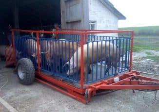 взвешивание свиней