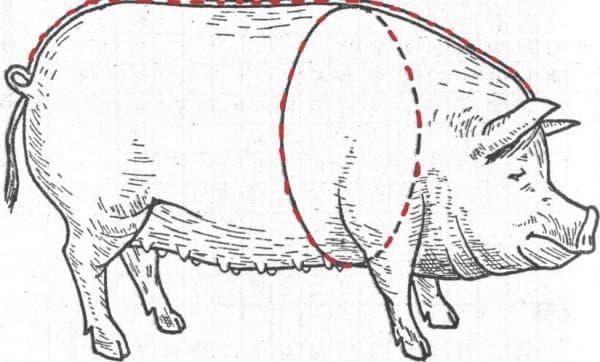 определение веса свиньи по размерам