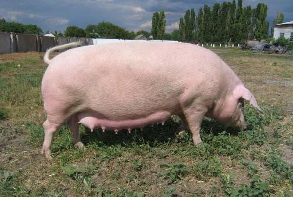 супоросность свиньи