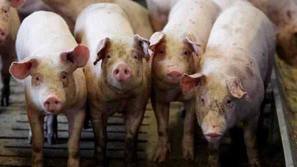 определение супоросность свиньи