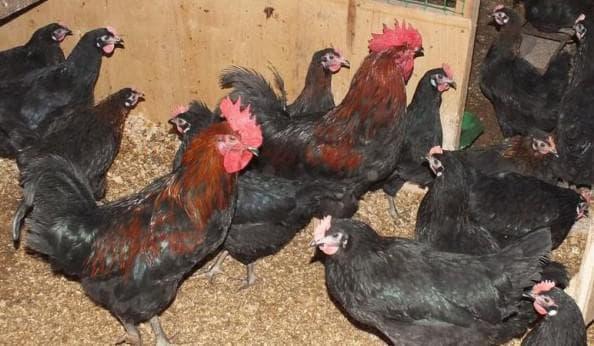панциревская чёрная порода кур