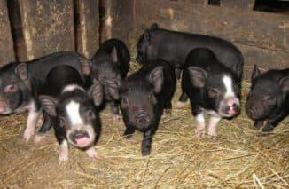 маленькие вьетнамские свиньи