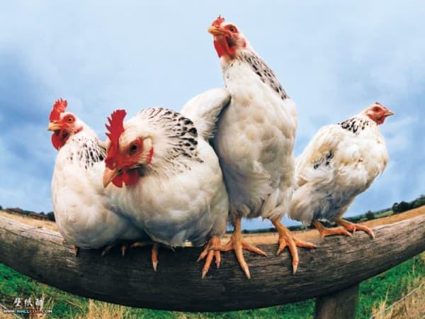 домашние курицы