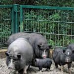 Почему многие фермеры предпочитают свиней Вьетнамской породы?