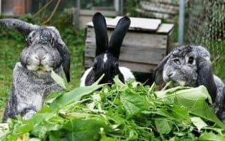 чем можно кормить кроликов а чем нельзя