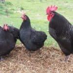 Породы черных кур