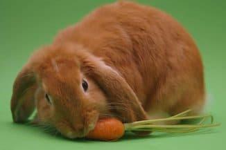 кормление кролика свеклой