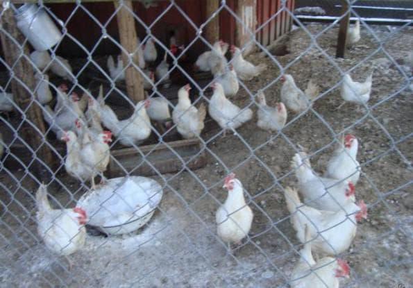 уход за местом проживания кур