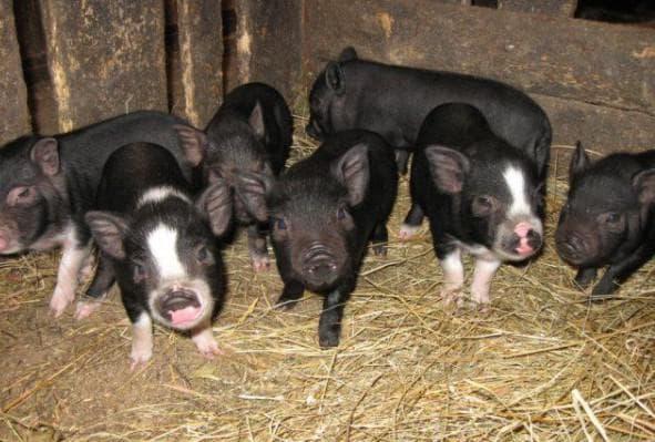 вьетнамские свиньи в помещении сарая