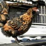 Павловские куры — декоративная порода с высокими показателями продуктивности
