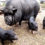Особенности разведения вьетнамских свиней