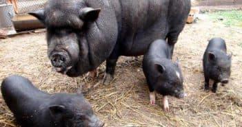 вьетнамские свиньи для разведения на траве