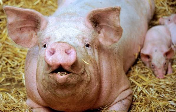 свинья в домашних условиях