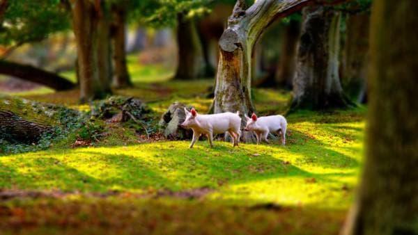 свинья в природе
