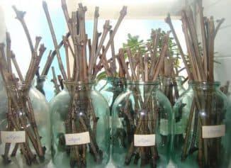 Выращивание винограда из черенков в домашних условиях