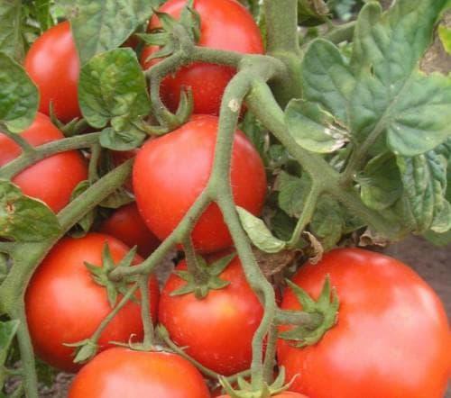 помидор загадка