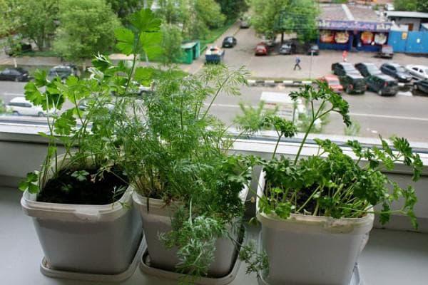 Укроп на подоконнике: выращивание из семян, как посадить