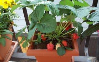 ремонтантная земляника выращивание на балконе