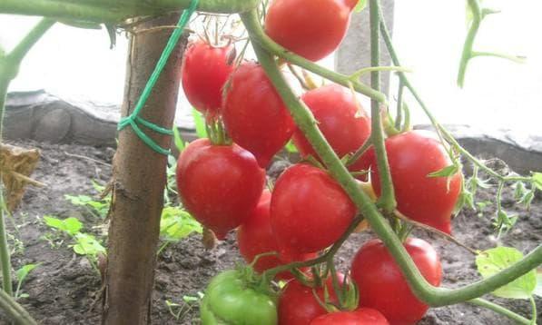 помидор Тарасенко 2
