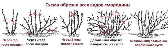 правила высадки смородины